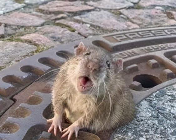 臭水沟中的老鼠,为啥总是又大又肥?