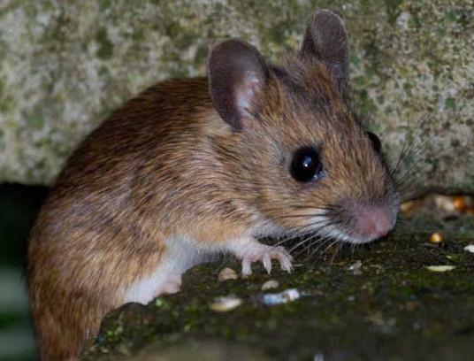 老鼠给企业带来什么危害?
