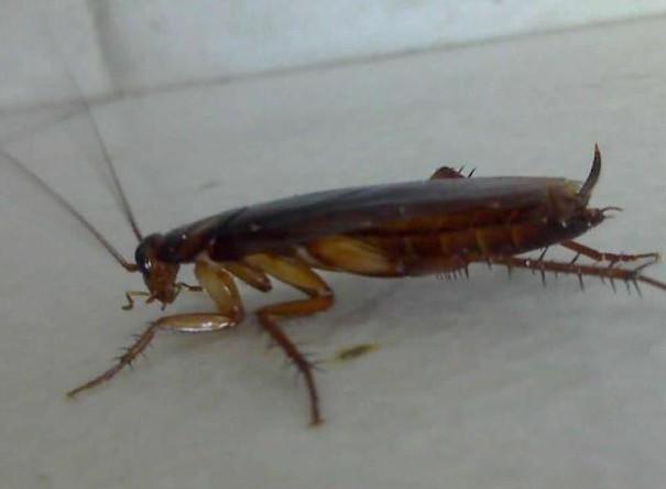 床上放什么可以驱蟑螂 ?