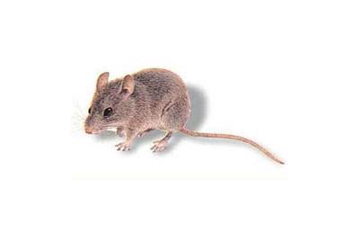 家庭灭鼠服务的7个流程