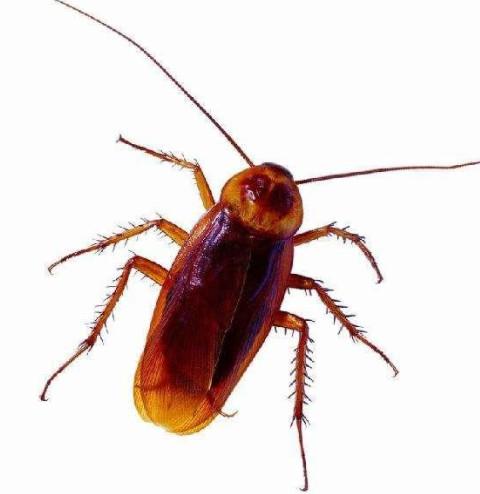 自制消灭蟑螂的神器有哪些?