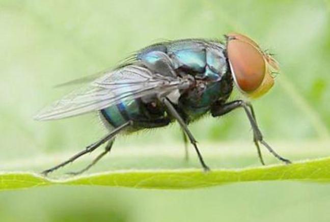 苍蝇怕什么味道?苍蝇怕什么植物
