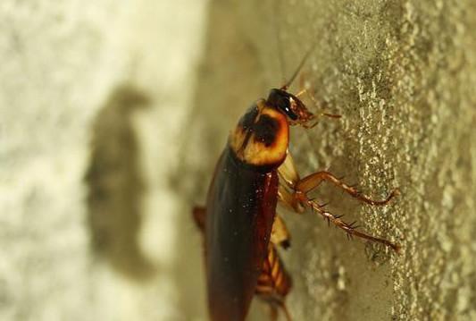 酒店宾馆灭蟑螂的八种方法