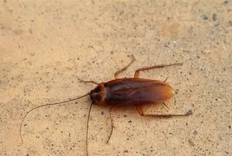 为什么蟑螂不能踩死的三大原因?