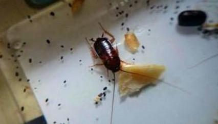 蟑螂侵害我们生活的4个征兆