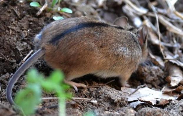 鼠害的生物防制方法分享