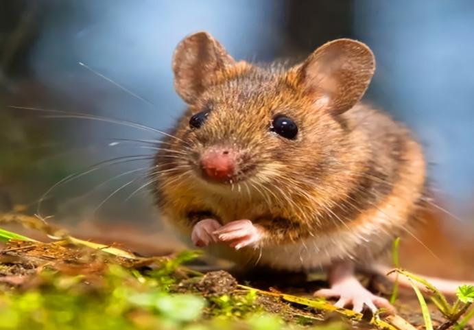 张家口家庭灭老鼠时要注意三点