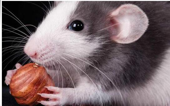 老鼠怕什么气味?如何才能将家里的老鼠赶走?
