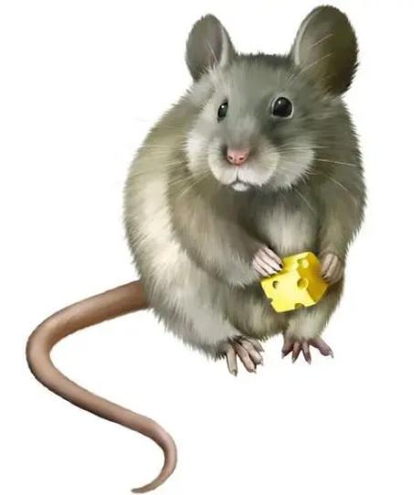 老鼠的五个特点,掌握了有助于消灭它!
