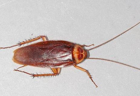 怎么消灭房子里的蟑螂