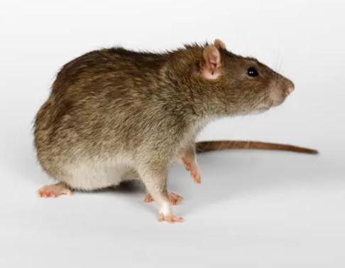 张家口灭鼠的步骤是什么?