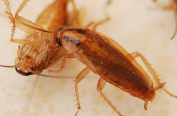 酒店宾馆灭蟑螂应该怎么做?
