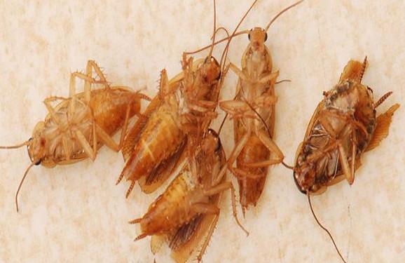 蟑螂难消灭?那是你没找对方法!