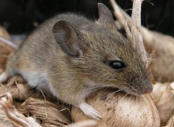 你可能不知道老鼠有多有害