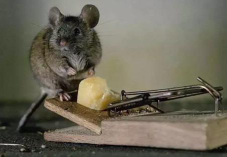 老鼠喜欢吃什么诱饵