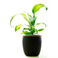 龍血樹的養殖方法與注意事項,趕快收藏吧。