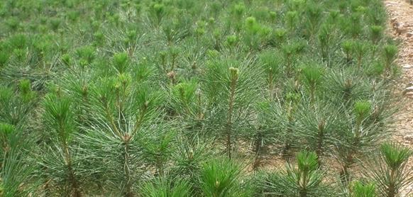 松田园林分享白皮松的特性和造型及养护