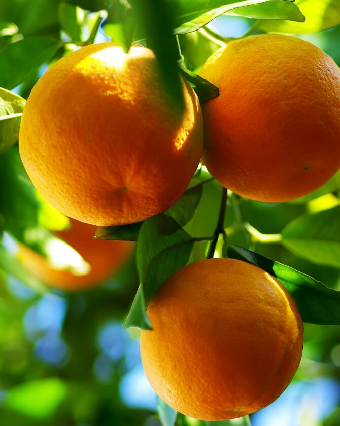 锰对作物有哪些营养作用?作物缺锰有何症状?怎样防治?