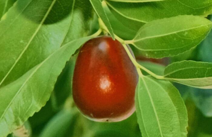 锌对作物有哪些营养作用?作物缺锌有何症状?