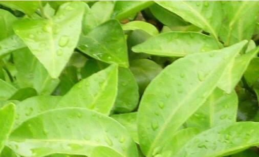 防治黄化病、小叶病害的用药误区