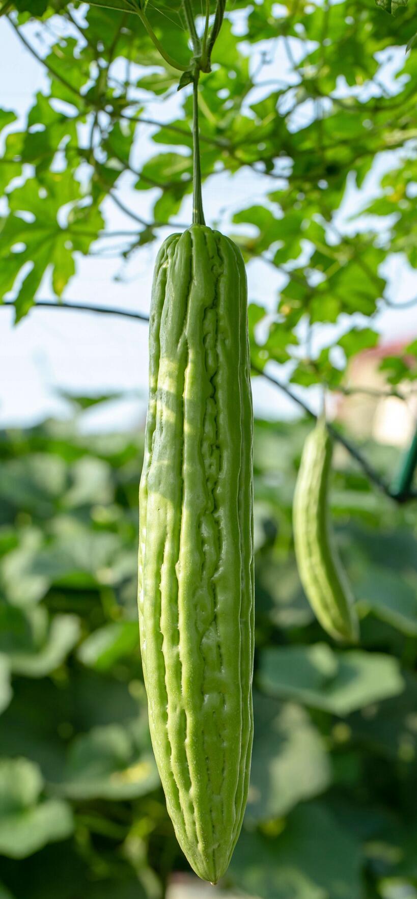 钼对作物有哪些营养作用?作物缺钼有何症状?