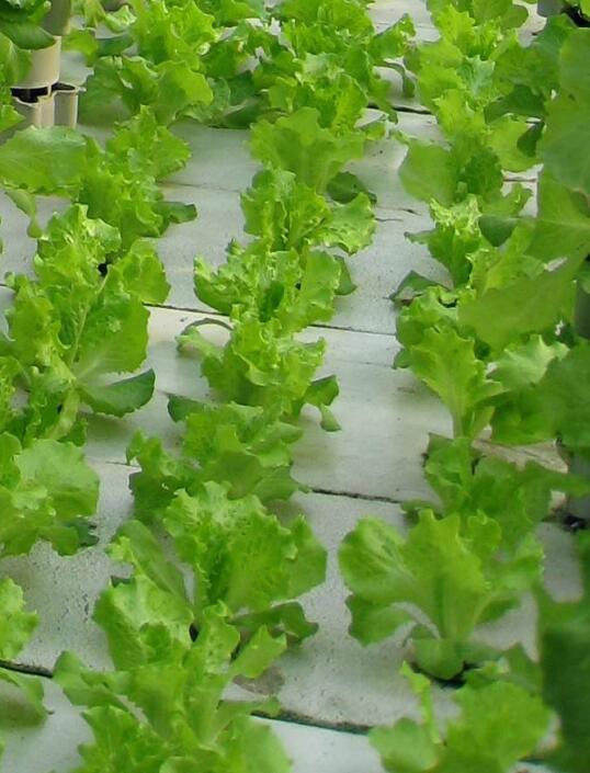 镁在作物营养中的主要作用是什么?作物缺镁时有何症状?怎样防治?