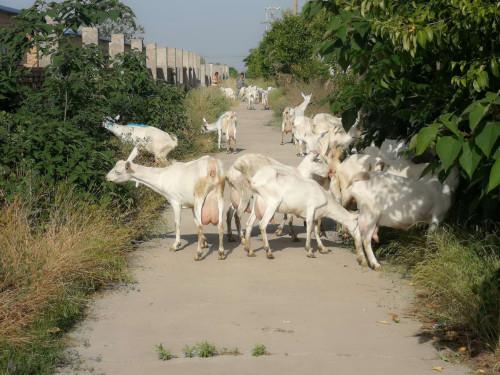 宁夏客户第二次购买奶山羊30只