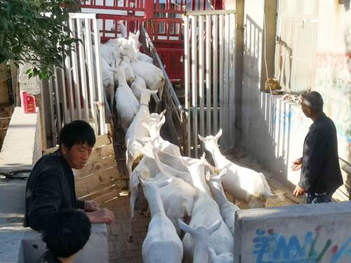 榆林客户购买一二胎羊32只