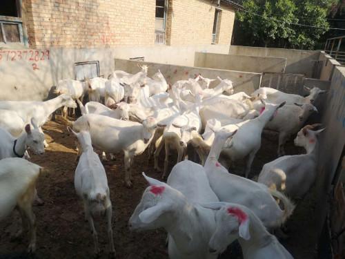 榆林客户购买一二胎奶山羊38只