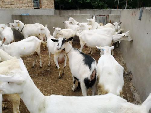 河南客户购买奶山羊25只