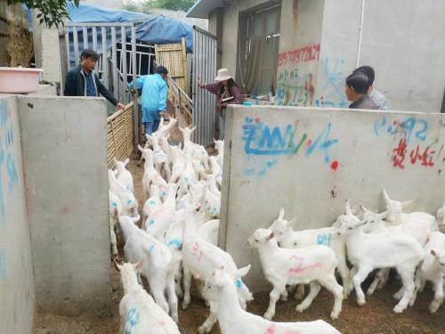 河南许昌客户购买奶山羊小公羔120头