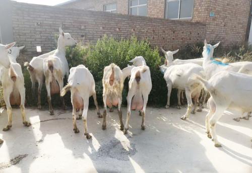 陕西奶山羊的常见饲料有哪些?你知道吗?