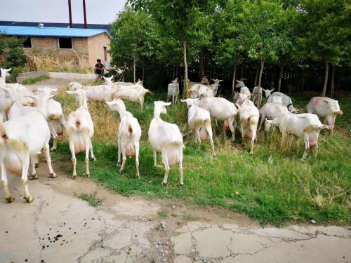 不同生长期的奶山羊对饲养条件的要求是不同的吗?当然不同。