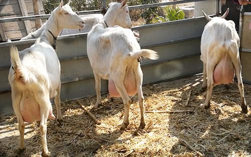 陕西奶山羊养殖
