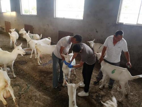 奶山羊也需要免疫接种,常用的疫苗有哪些呢?