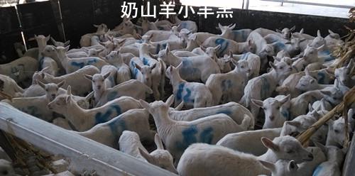 奶山羊小羊羔