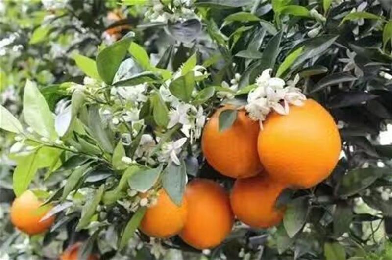 新鲜脐橙采摘