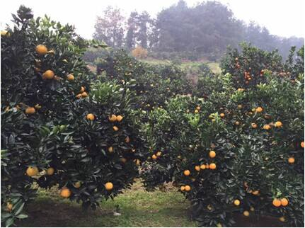 脐橙种植果园