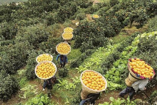 果农采摘脐橙中