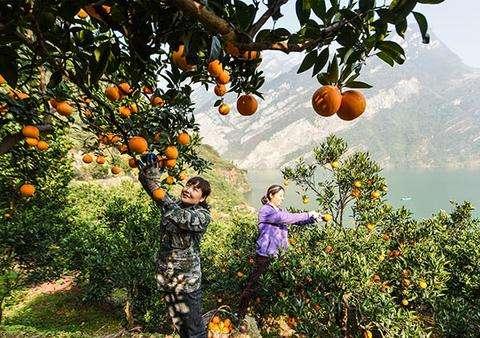 脐橙采摘基地