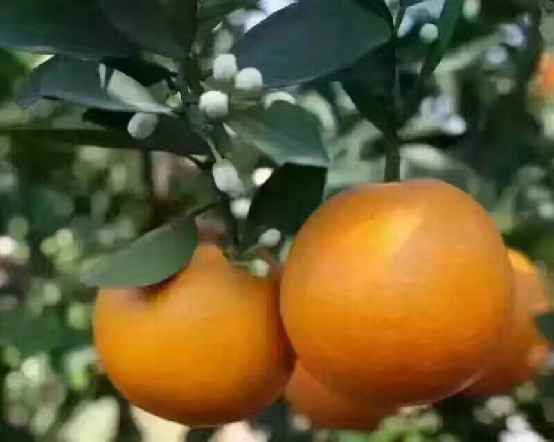 种植户应该如何正确为脐橙施肥,脐橙代办厂家应该知道的3点