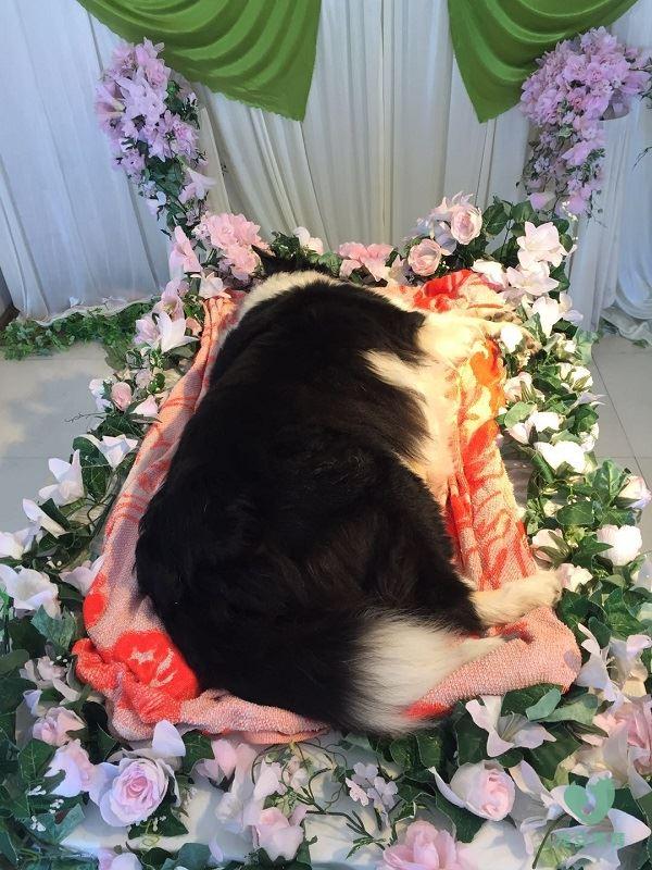 宠物殡葬牧羊犬