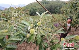 赞皇县西石家庄村的农户祁坚强正在收板栗