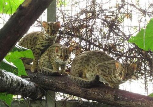 台湾一湿地公园被批破坏石虎栖息地 拟造林补偿