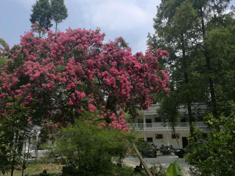 陕西度假山庄中的紫薇树