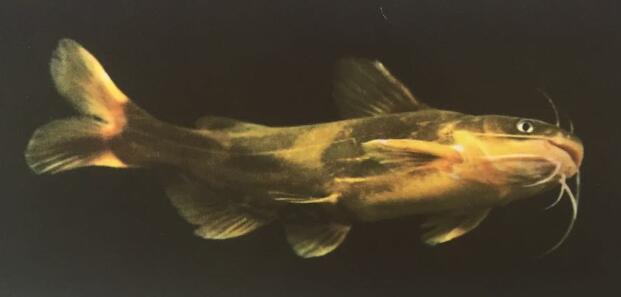 内蒙古黄颡鱼幼鱼