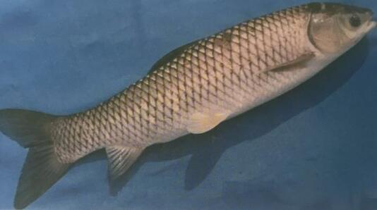 哈素海鱼苗养殖