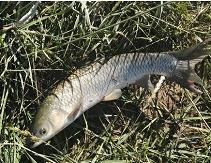 内蒙古水产养殖-成品草鱼