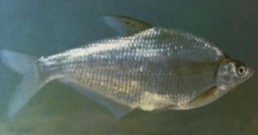內蒙古水產養殖-鳊魚幼魚