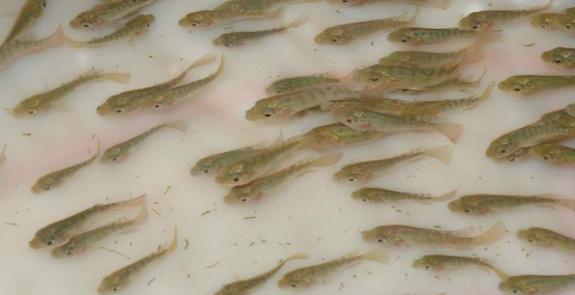 內蒙古水產養殖-魚苗養殖